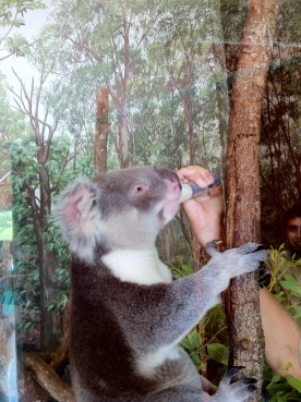Koala being fed 2